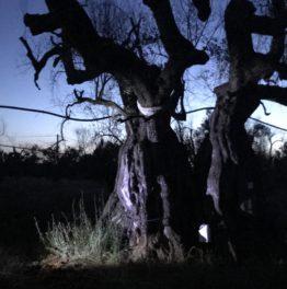 Wie sich Arte das Happy-End für Olivenbäume vorstellt.