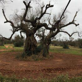 Der Kampf um die Olivenbäume geht weiter